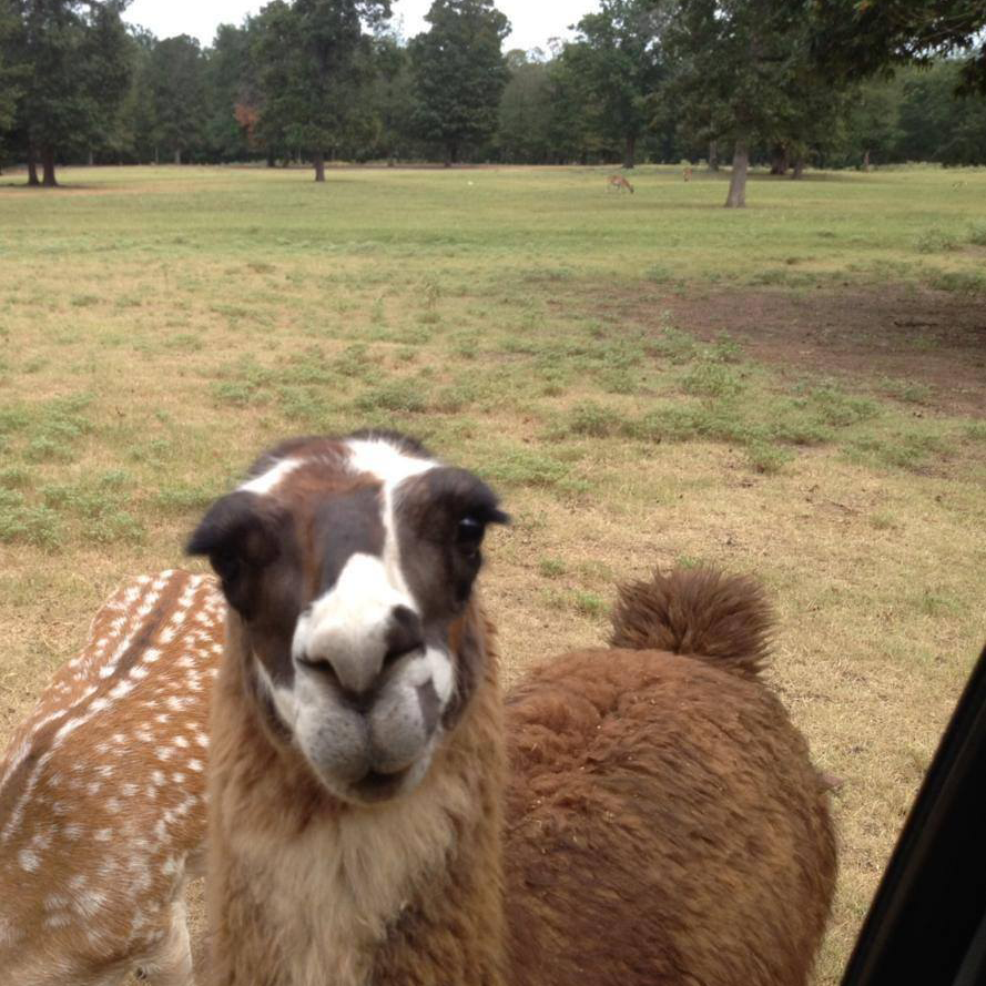 Don't tease the Llamas | The Daddy Diaries
